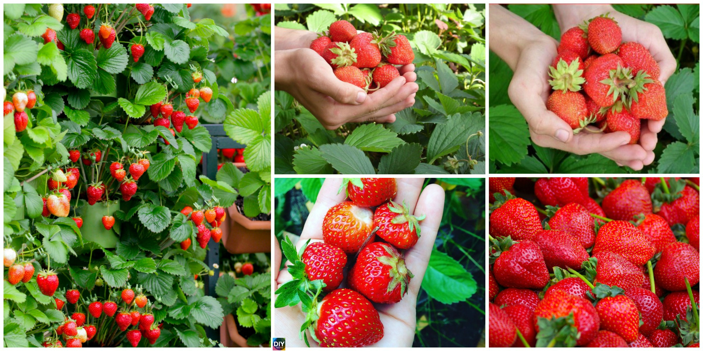 How to Grow Strawberries in Containers