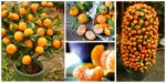 diy4ever- How to Grow Tangerines from Seeds